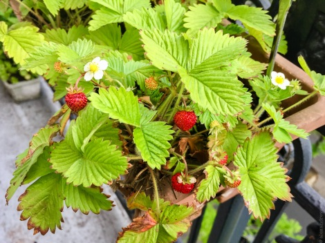 fraises_LowRes